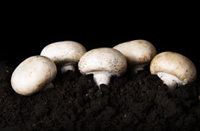 Agaricus bisporus Champignon, Agaricus brunnescens Peck, Egerling, Angerling, Portobello, White Button Mushroom